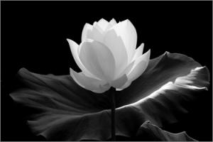 Lotus_Flower_IMGP7600-650